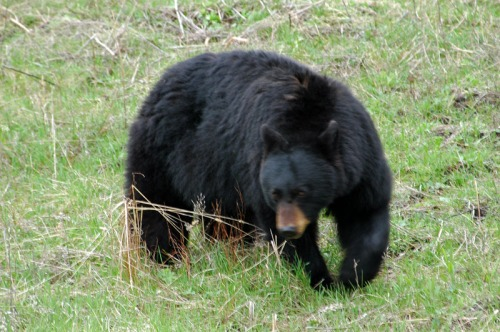 The bear made a sudden right turn, looked up at me,  and headed directly toward my car.