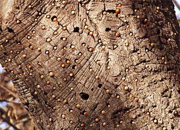 A granary tree.