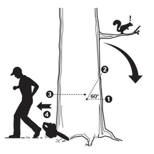 The proper method of felling a tree with a chainsaw, by the numbers.