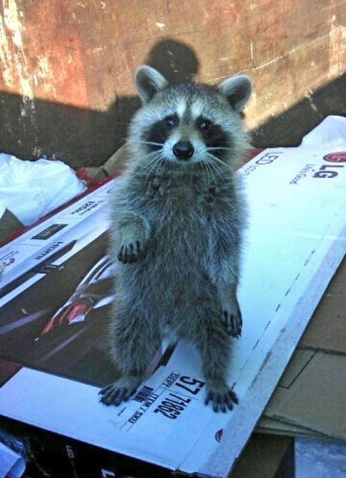 Rocky Raccoon-2
