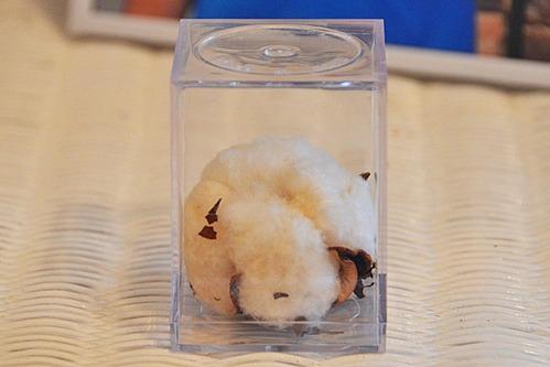My souvenir boll of cotton.