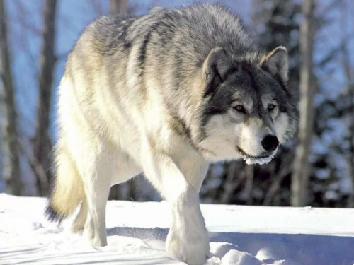 Wolf stalking