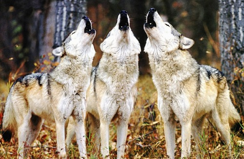 Wolves howlng