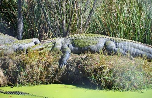 Gator-4