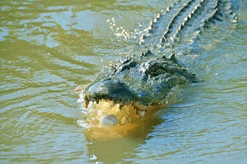 Gator-6