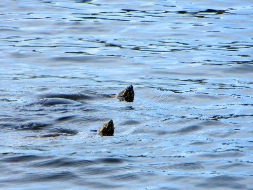 Two turtles surface to check me out.