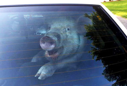 Pig in custody