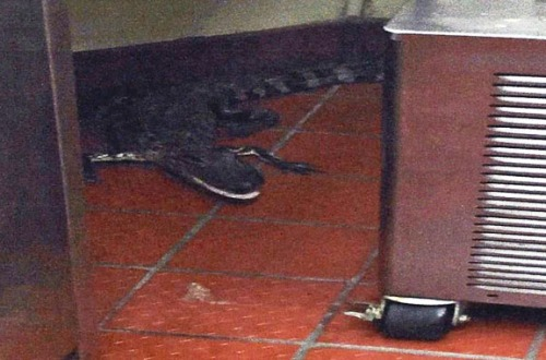 Wendy's gator