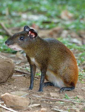 ARKive image GES078168 - Central American agouti