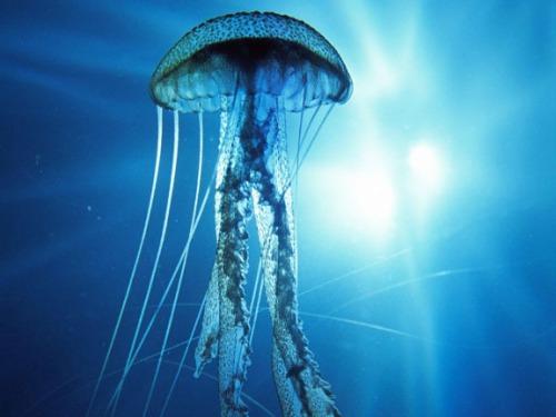 Scarlet jellyfish
