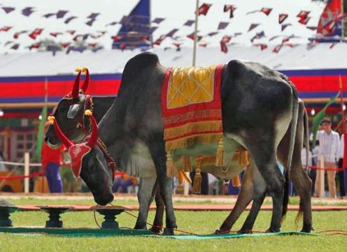 Royal oxen