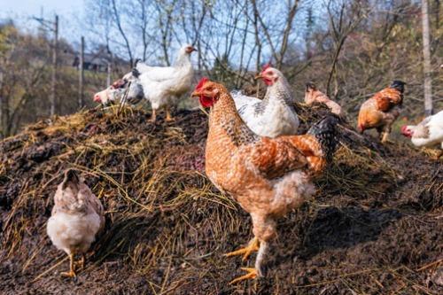 Chicken manure